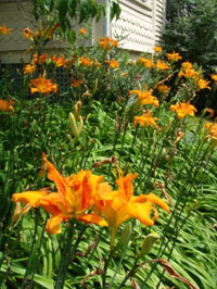 double daylillies